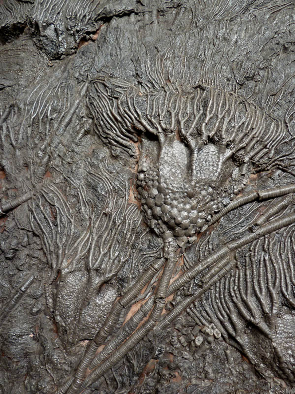 LARGE PREHISTORIC SEA LILY CRINOID FOSSILS ON NATURALLY COLORED ANCIENT OCEAN FLOOR ROCK *CRI033