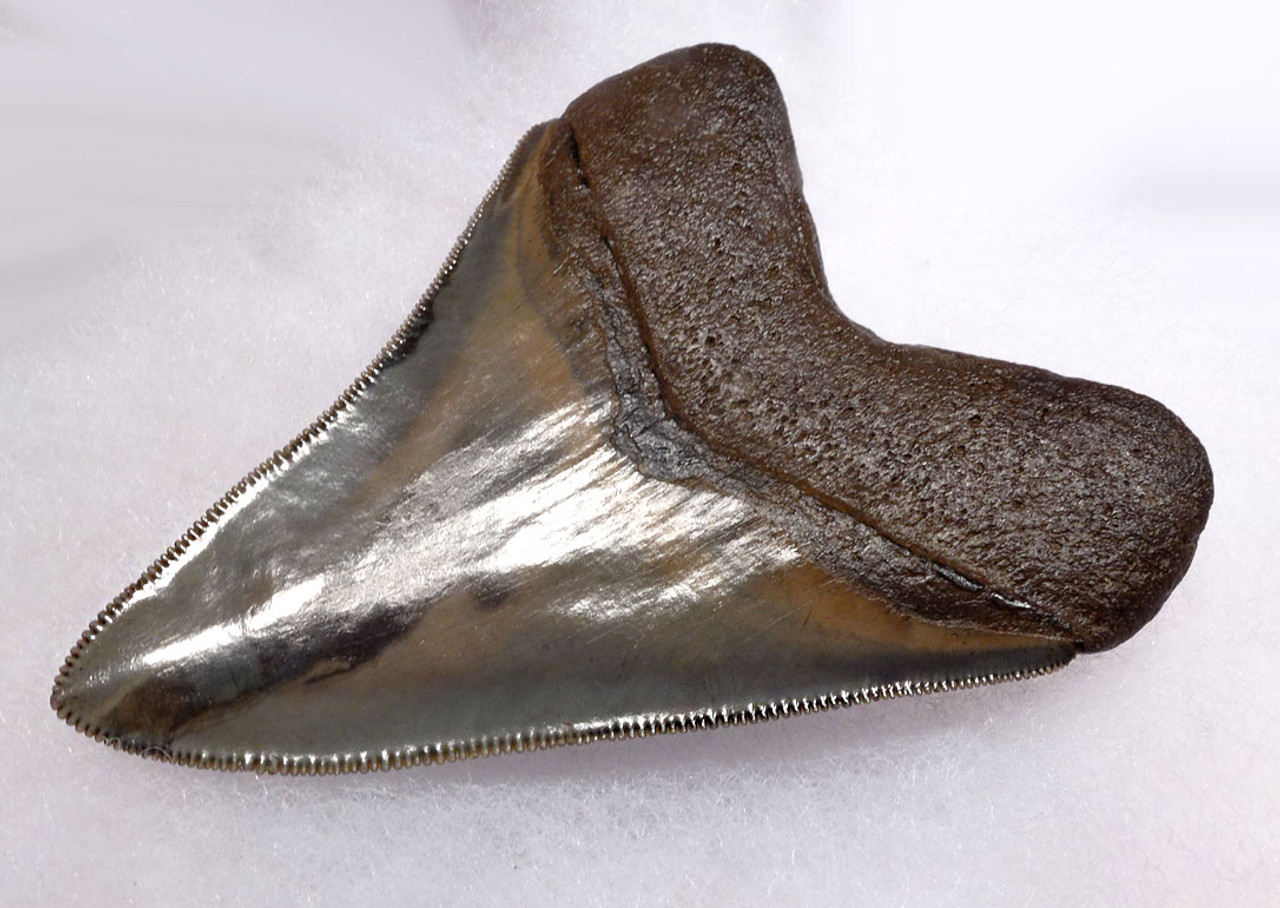 COLLECTOR INVESTMENT MEGALODON TOOTH FOR SALE