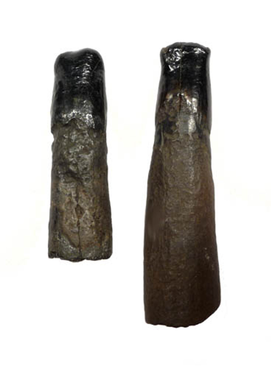 EXTREMELY RARE SET OF BABY MASTODON TUSKS WITH MOLAR TOOTH FROM SAME ELEPHANT *LM15-019