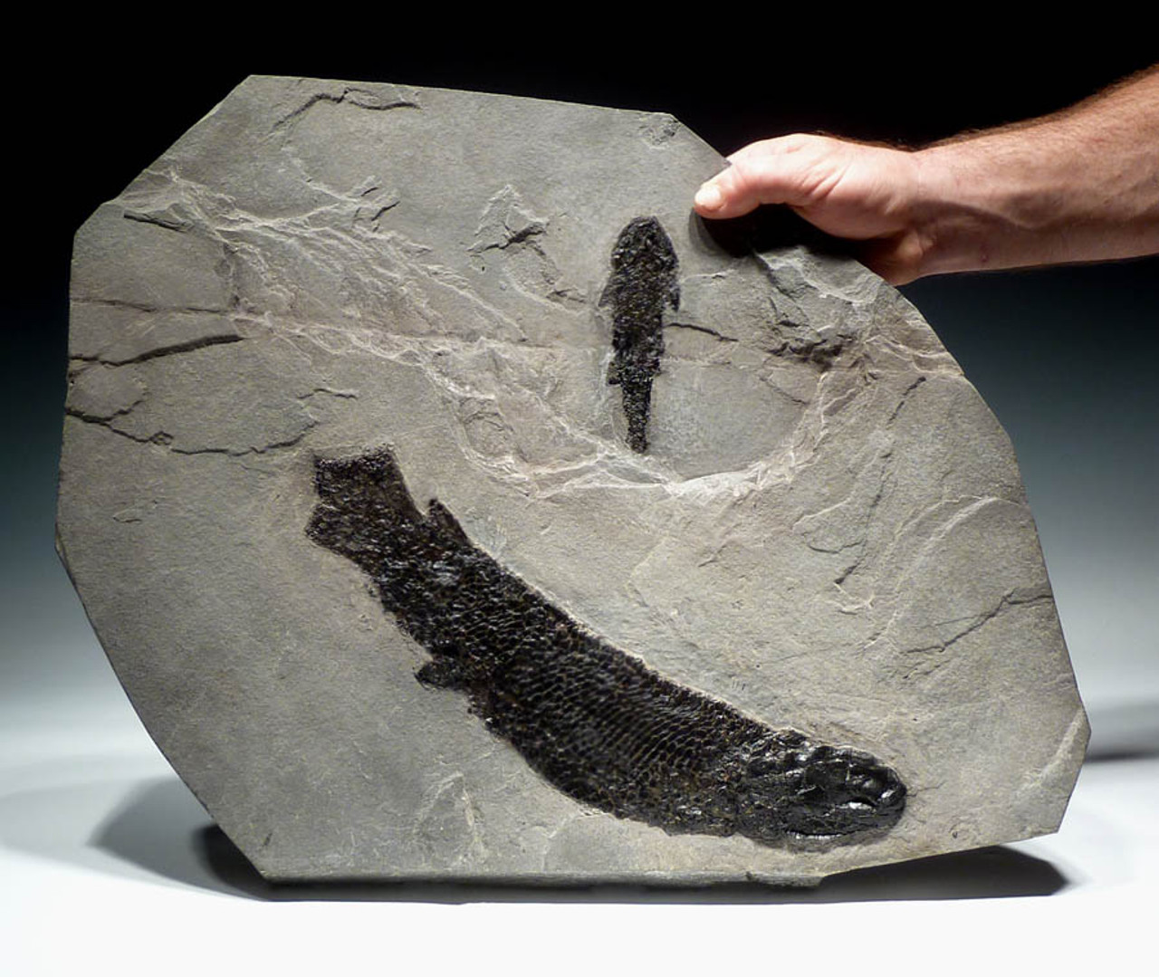 GYROPTYCHIUS FISH FOSSIL FROM SCOTLAND WITH OSTEOLEPIS FISH