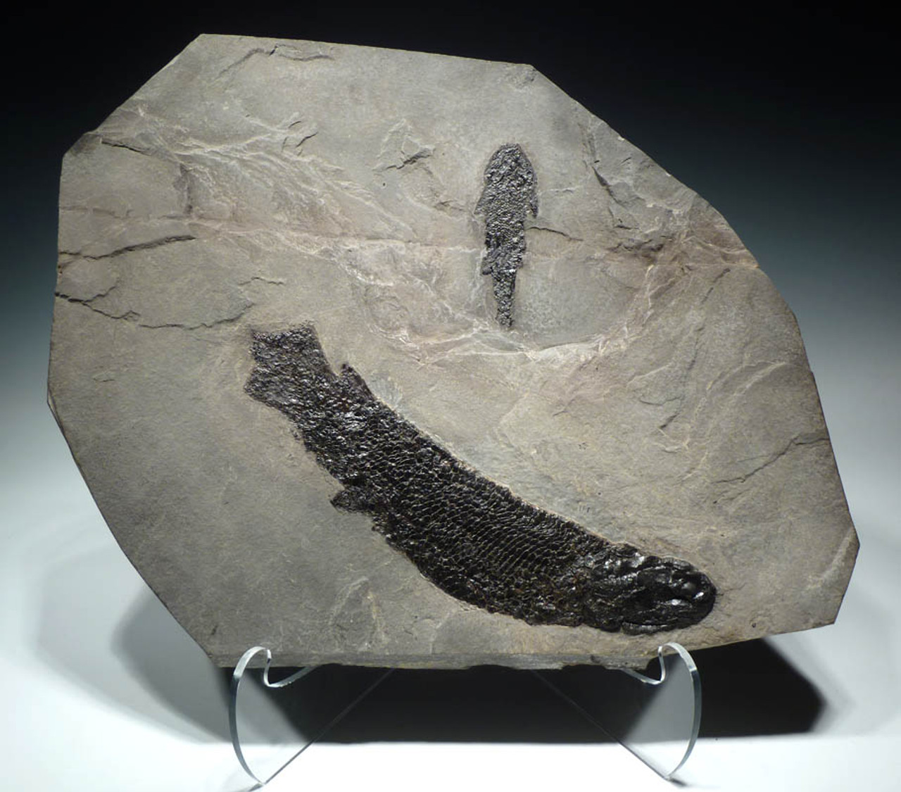 GYROPTYCHIUS FISH FOSSIL FROM SCOTLAND