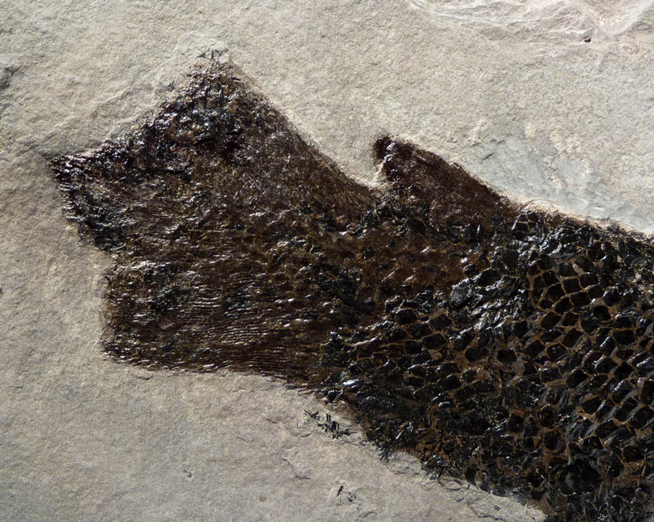 DEVONIAN FISH FOSSIL