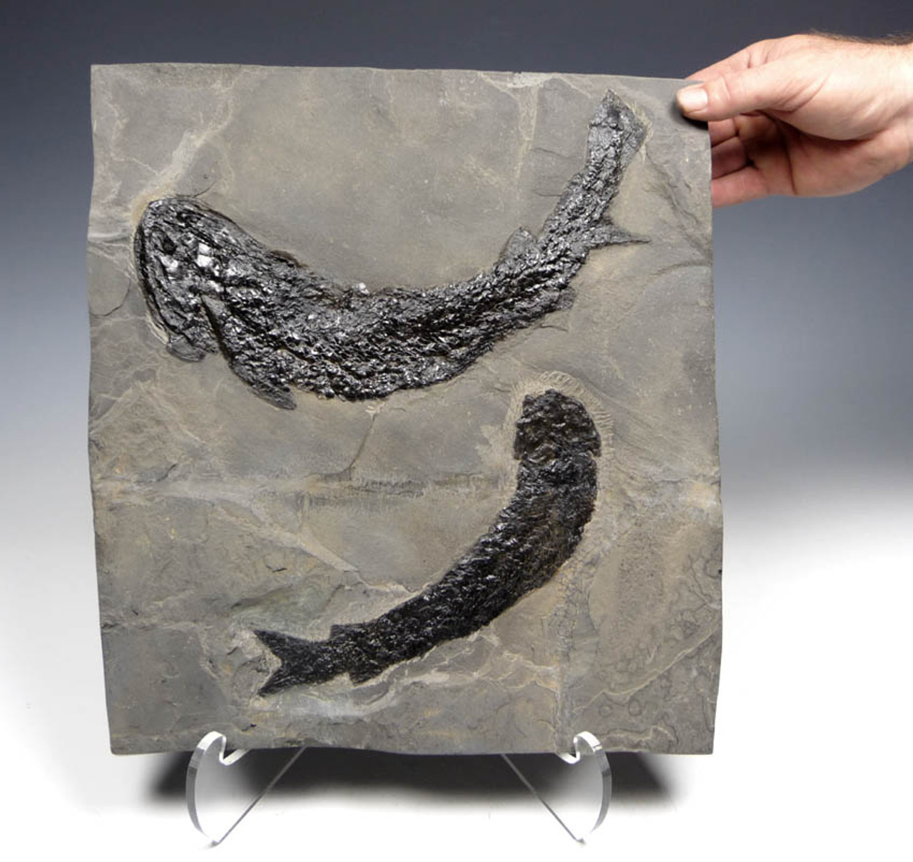 LARGE EXTREMELY WELL PRESERVED DEVONIAN GYROPTYCHIUS FISH WITH OSTEOLEPIS FISH *F069