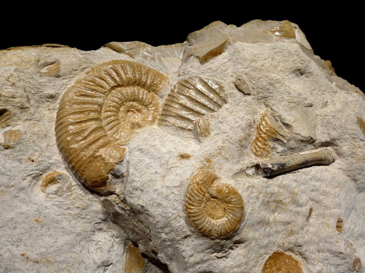 STUNNING GIANT MASS EXTINCTION OCEAN FOSSIL WITH AMMONITES BELEMNITES AND PREHISTORIC OYSTERS *AMX390