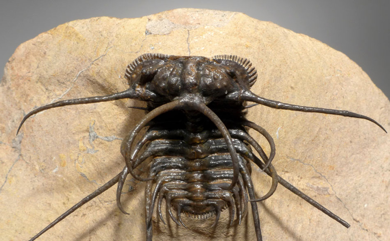 SUPREME CERATONURUS SPINY TRILOBITE WITH EXPOSED MOUTH AND SPINES *TRX276