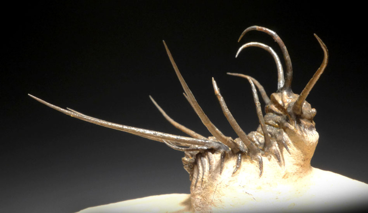 DRAMATIC CERATONURUS SPINY TRILOBITE WITH STUNNING HIGH SWEEPING SPINES EXPOSED *TRX288