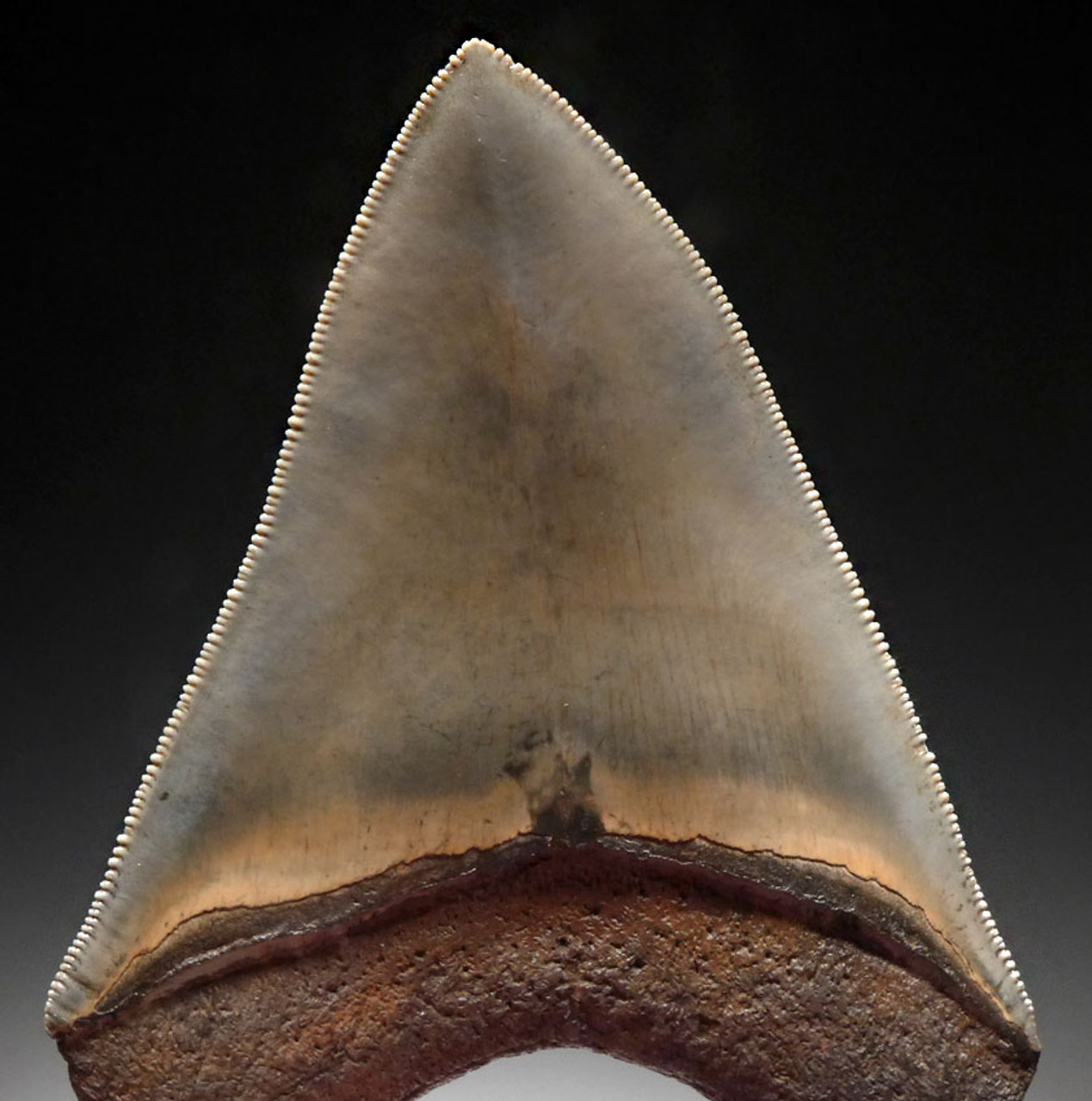 INVESTMENT GRADE 3.75 INCH MEGALODON SHARK TOOTH WITH MOTTLED SILVERY GREEN AND GOLD CREAM ENAMEL *SH6-382