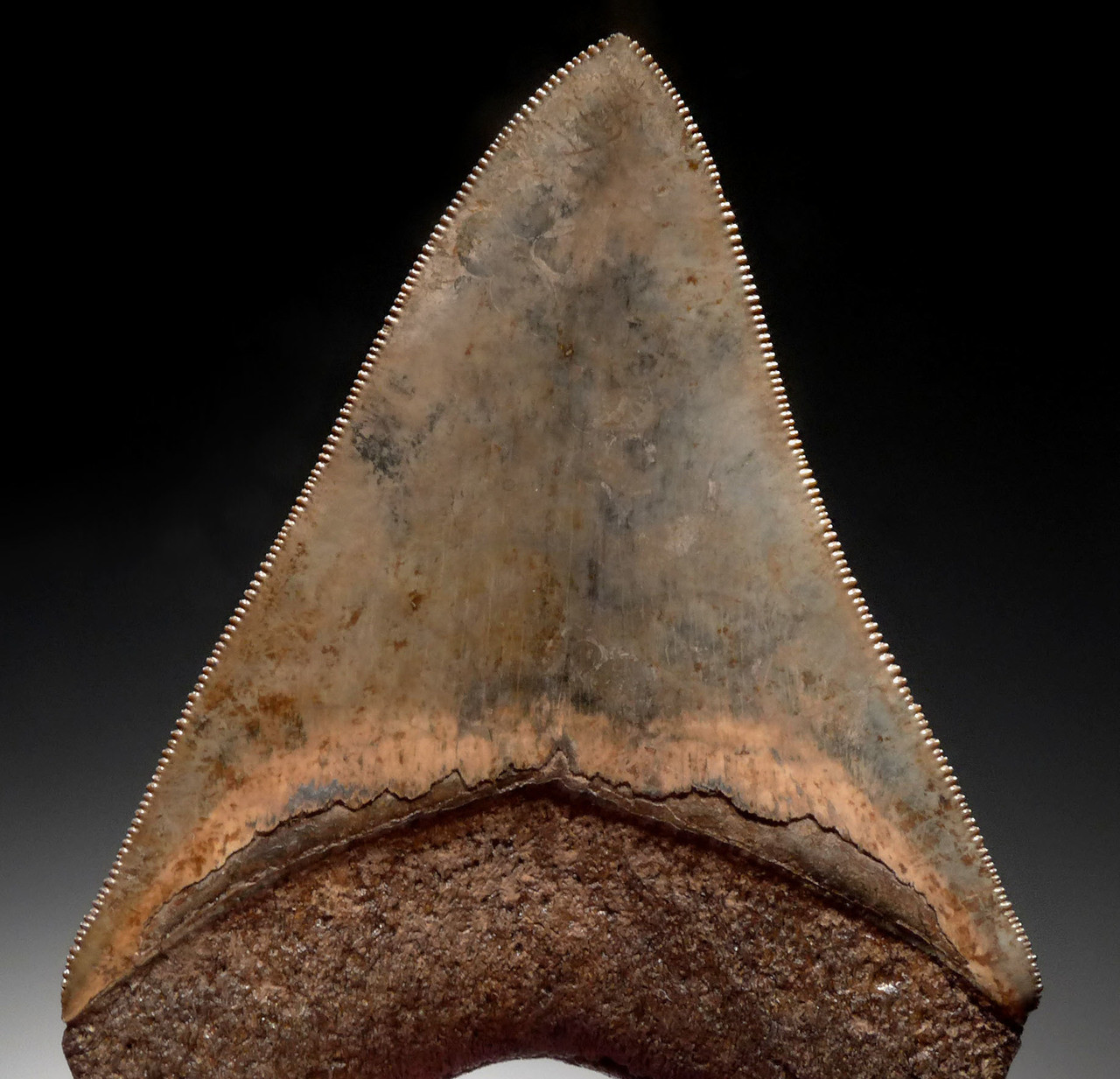 INVESTMENT GRADE 3.85 INCH MEGALODON SHARK TOOTH WITH MOTTLED COPPER RED AND GOLD CREAM ENAMEL *SH6-381