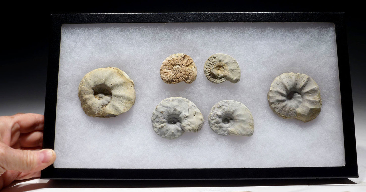 DISPLAY COLLECTION OF TRIASSIC CERATITES AMMONITES FROM GERMANY *AMX393