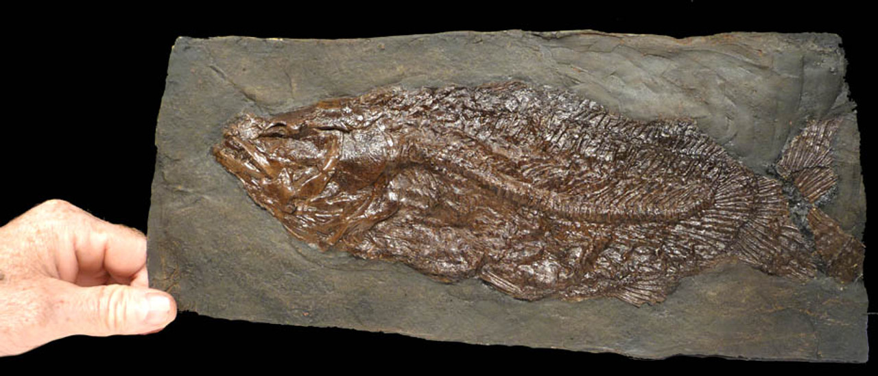 LARGE CYCLURUS EOCENE BOWFIN FISH FROM THE FAMOUS MESSEL PIT WITH THE FINEST PRESERVATION *F039