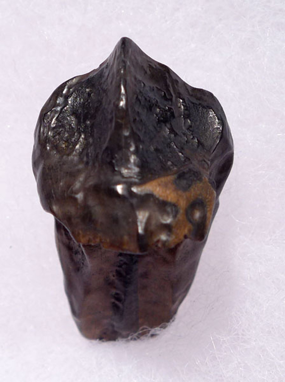 TOP GRADE LARGE TRICERATOPS DINOSAUR TOOTH WITH PARTIAL ROOT AND INTACT CROWN *DT70-013