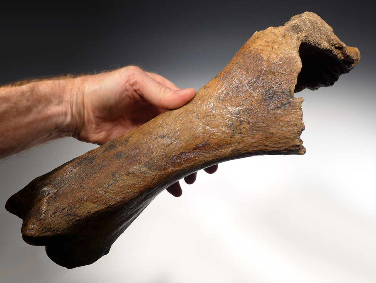 RARE PREDATION FOSSIL WOOLLY RHINOCEROS RADIUS BONE WITH DRAMATIC CAVE HYENA BITE MARKS *LMX109