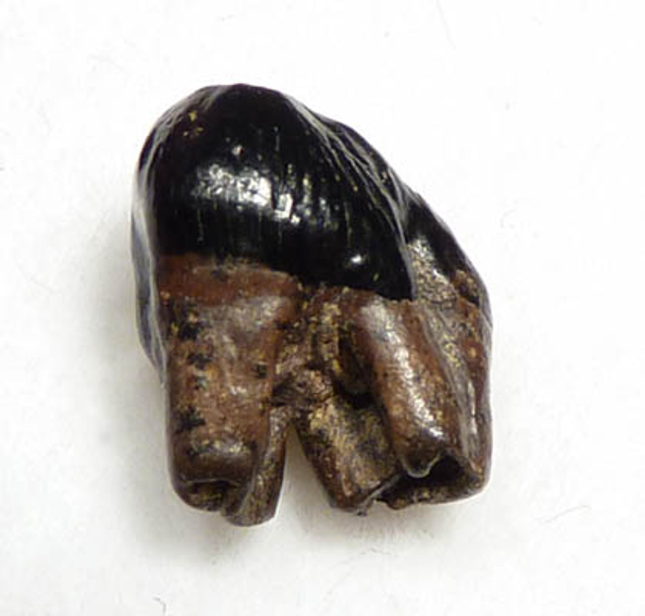 METATHERIAN MESOZOIC MAMMAL FOSSIL DIDELPHODON PRE-MOLAR WITH INTACT CROWN AND ROOTS *MM003