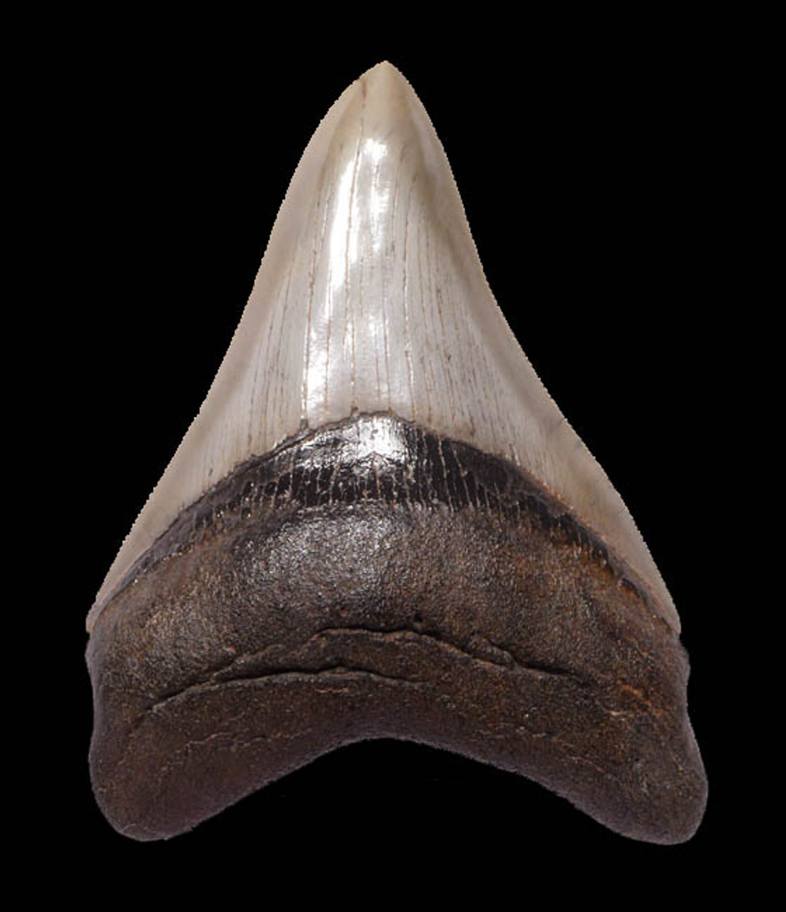 PEARL WHITE 4.5 INCH MEGALODON SHARK TOOTH WITH CHOICE PRESERVATION *SH6-257