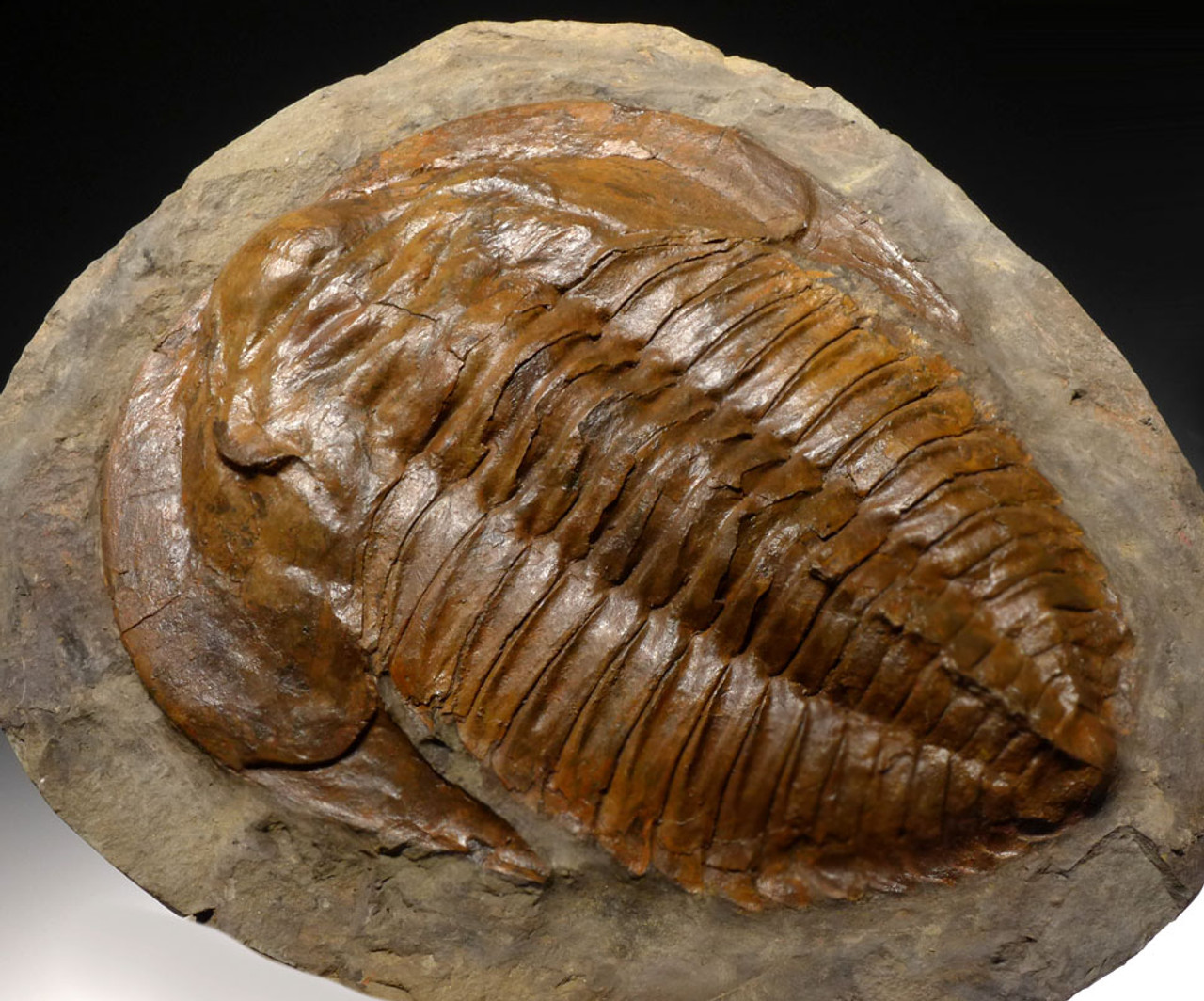 TRX339 - RARE SCIENTIFIC GRADE CAMBROPALLAS TRILOBITE POSITIVE AND NEGATIVE FOSSIL