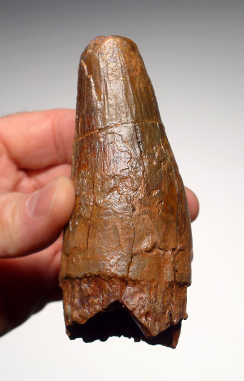 MONSTER-SIZE 4.6 INCH SPINOSAURUS DINOSAUR TOOTH NEARLY 2 INCHES THICK *DT5-184
