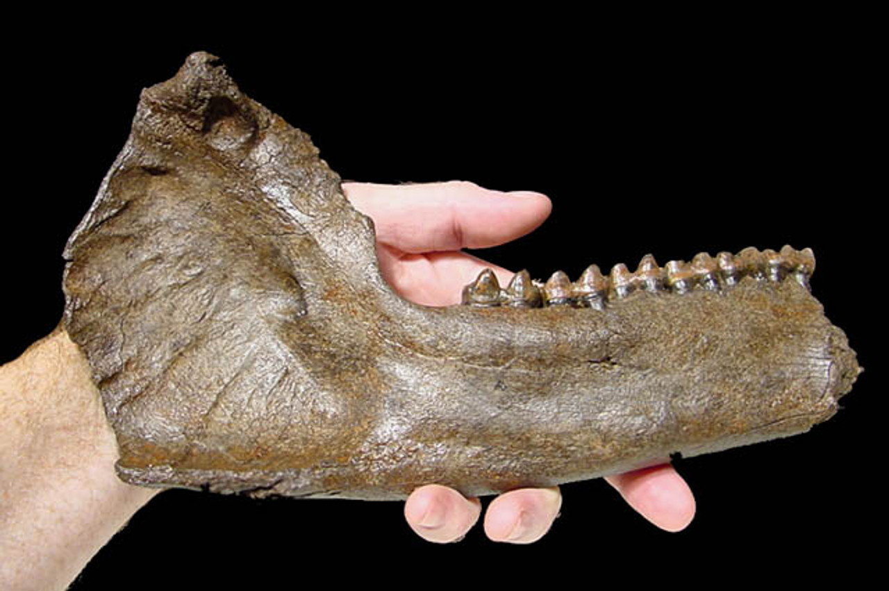 FOSSIL TAPIR JAW WITH COMPLETE DENTITION *LM44-012