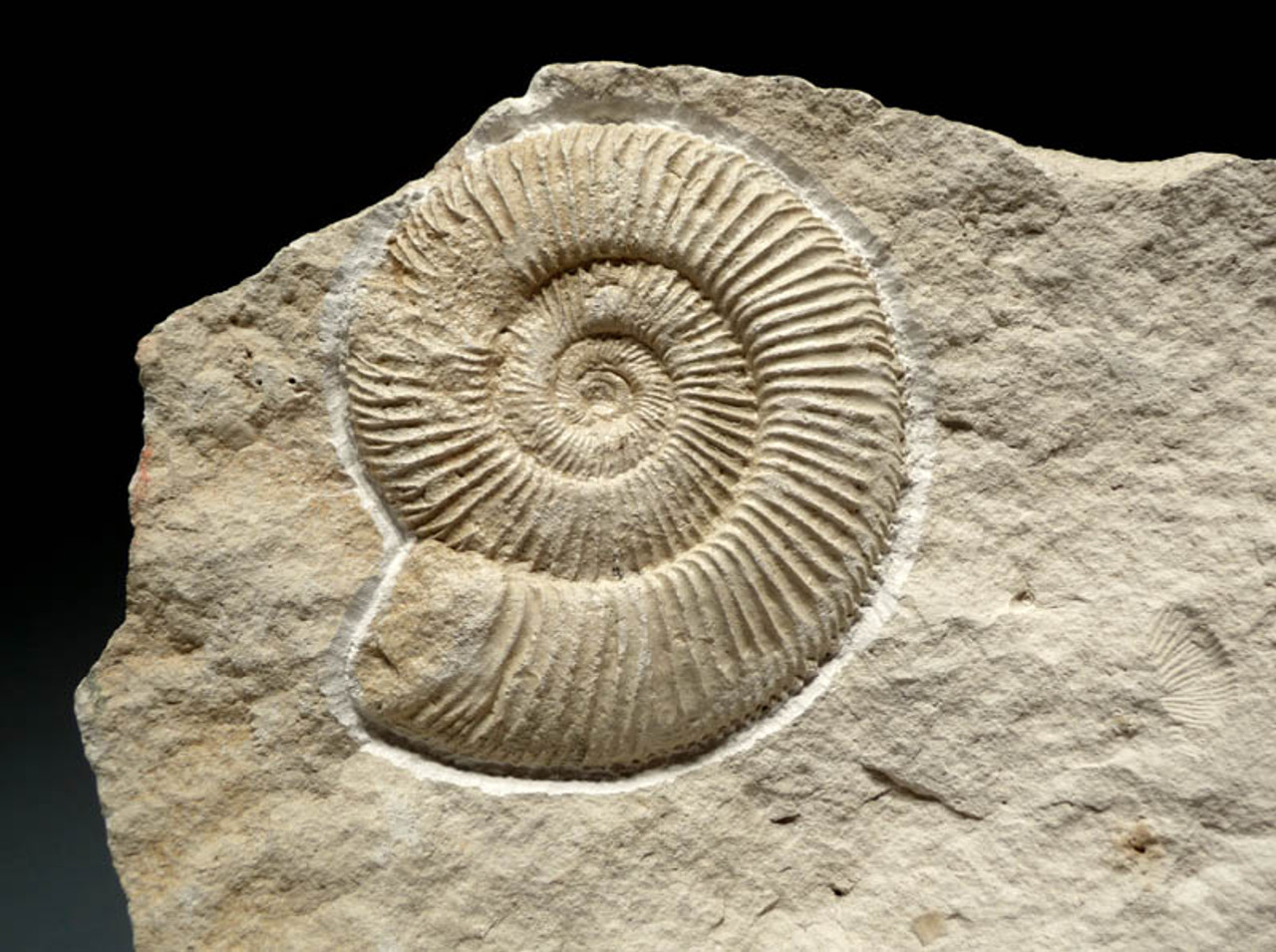 LARGE DOUBLE JURASSIC WHITE AMMONITES ON MATCHING WHITE LIMESTONE MATRIX FROM EASTERN EUROPE *AMX223