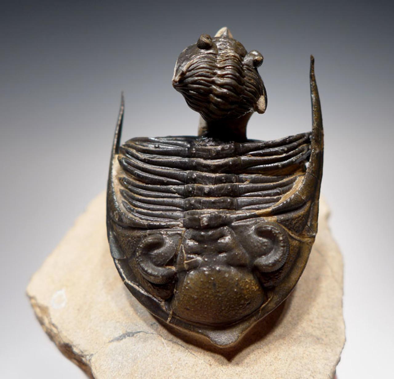 TRILOBITE BUDDIES ZILCHOVASPIS TRILOBITE WITH CRYPHINA TRILOBITE FOUND TOGETHER *TRX284