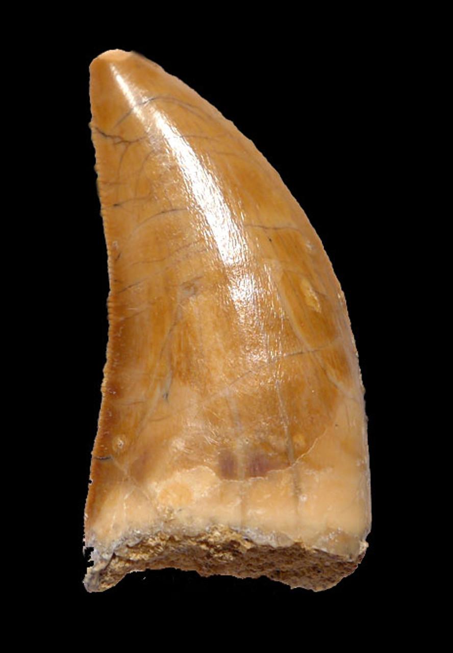 SUPREME GRADE 1.65 INCH WARM GOLDEN DELTADROMEUS FOSSIL DINOSAUR TOOTH *DT11-037