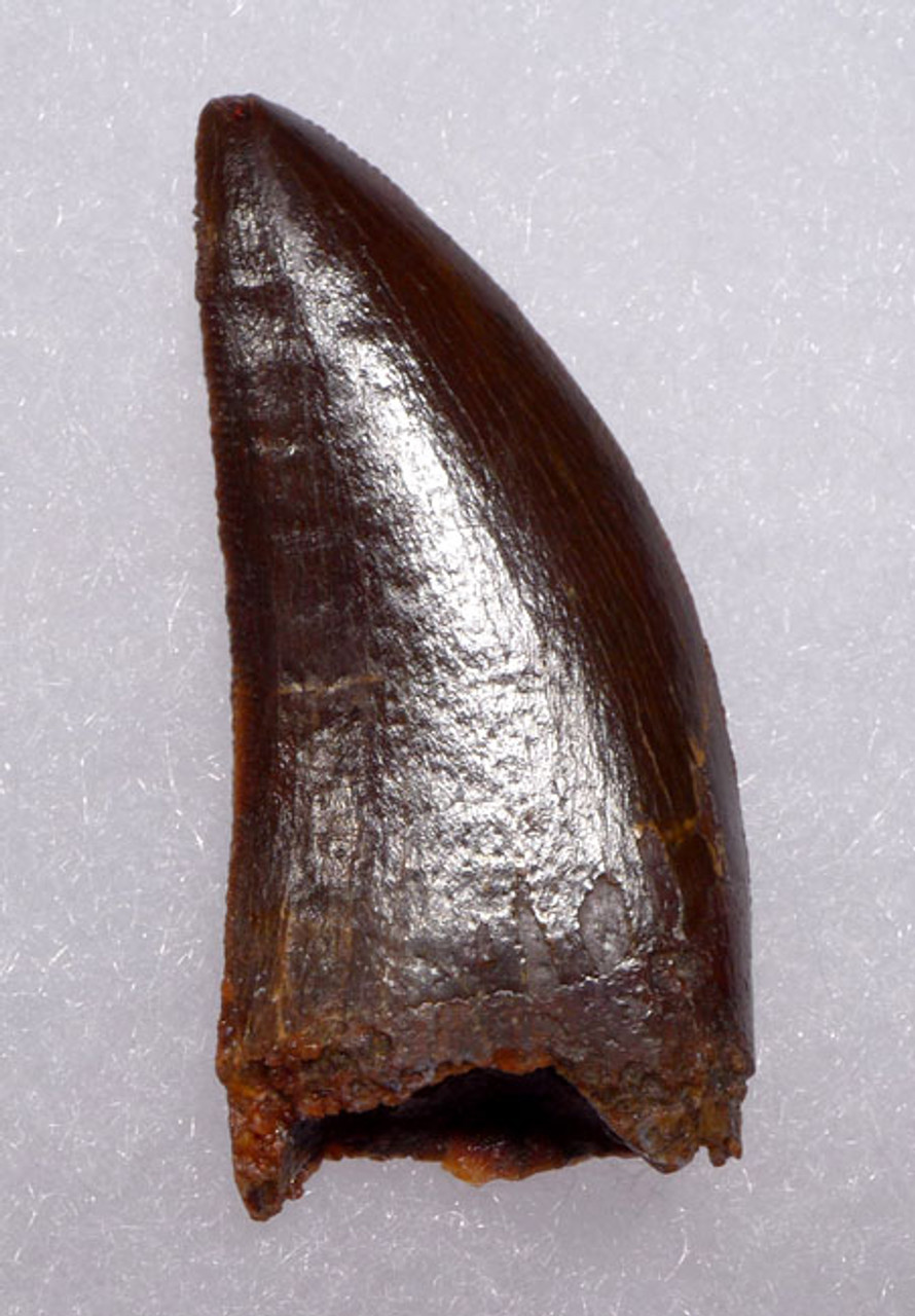 SUPREME RICH RED-BROWN DELTADROMEUS DINOSAUR TOOTH *DT11-025