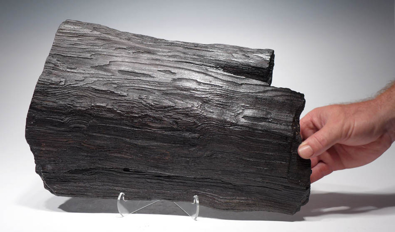 LARGE PETRIFIED WOOD PARTIAL FOSSILIZED LOG FROM THE MIOCENE PERIOD WITH NATURAL DETAIL FROM EAST EUROPE *PL070