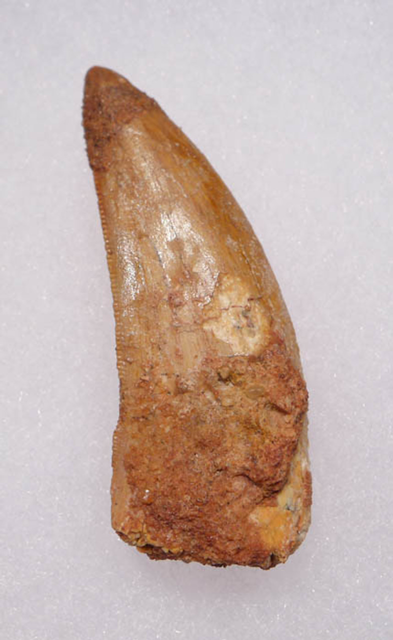 LARGE 2.25 INCH DELTADROMEUS AGILIS DINOSAUR TOOTH *DT11-021