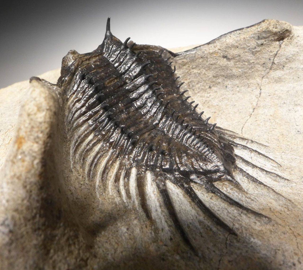 RARE SHORT-SNOUT SPECIES PSYCHOPYGE TRILOBITE WITH FREE-STANDING SPINES *TRX399