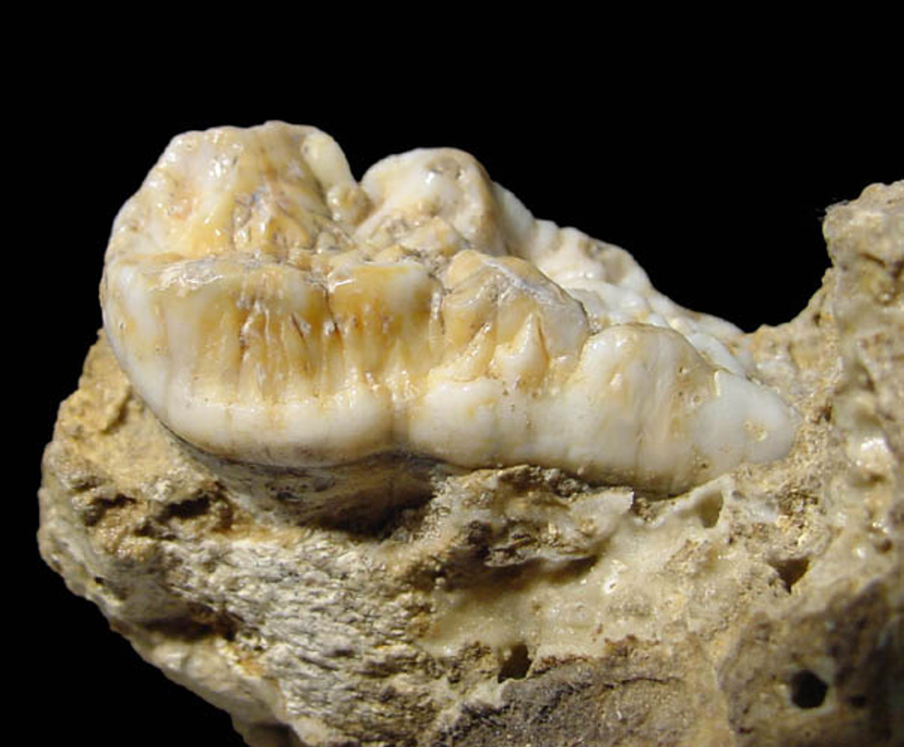 LARGE PRIMARY FOSSIL MOLAR WITH BONES OF A EUROPEAN CAVE BEAR IN ORIGINAL CAVE FLOOR  MATRIX *LM40-024