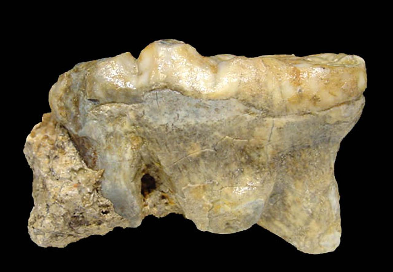 LARGE EUROPEAN CAVE BEAR URSUS SPELAEUS PRIMARY MOLAR WITH FULL ROOT IN ORIGINAL CAVE FLOOR  MATRIX *LM40-110
