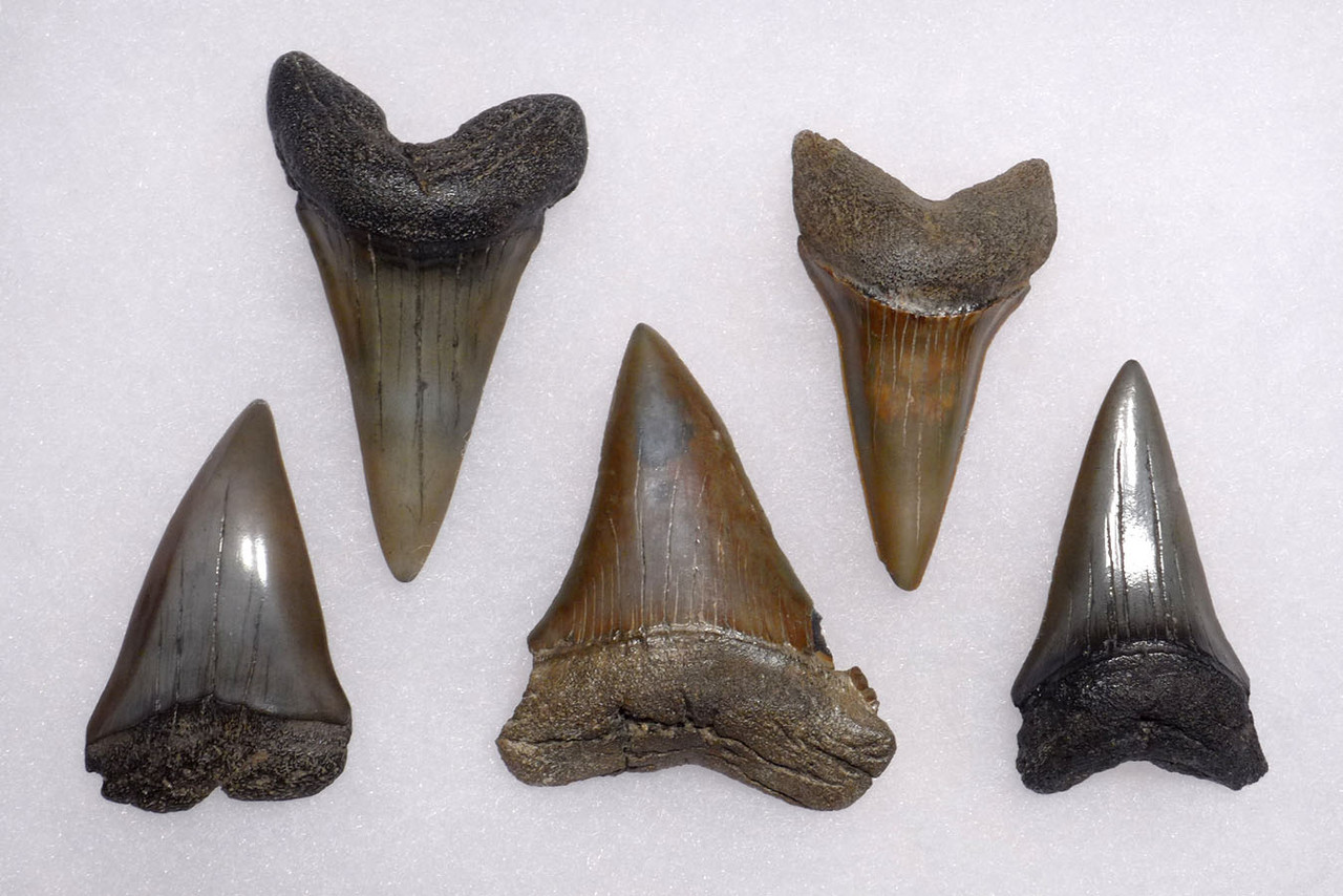 SEVEN FOSSIL SHARK TEETH FROM A LARGE PREHISTORIC MAKO ISURUS SHARK *SHX074