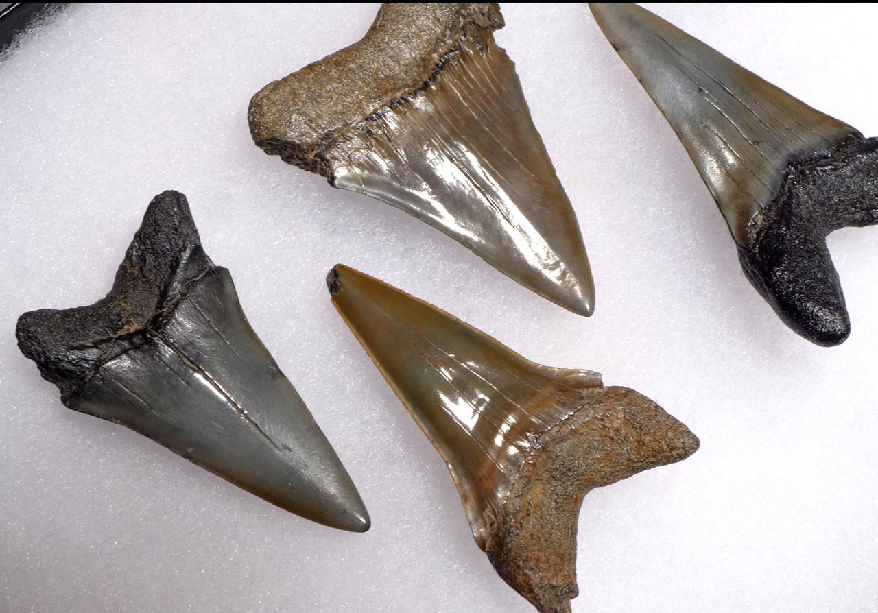 SEVEN FOSSIL SHARK TEETH FROM A LARGE PREHISTORIC MAKO ISURUS SHARK *SHX074