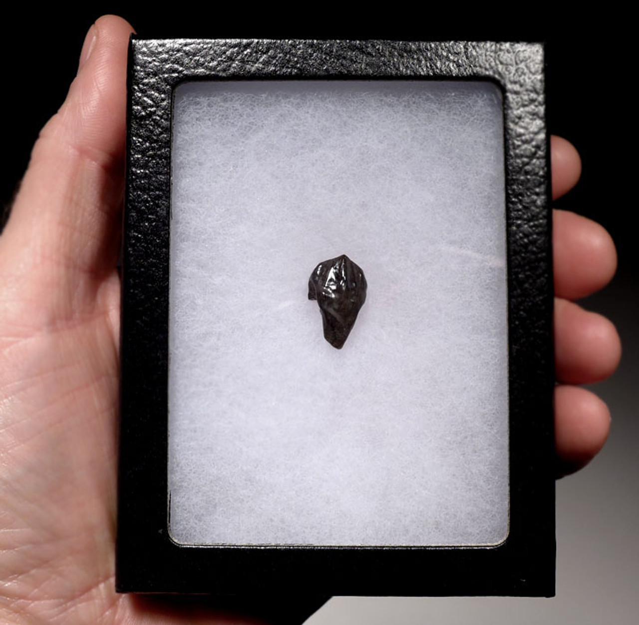 TOP GRADE TRICERATOPS DINOSAUR TOOTH WITH PARTIAL ROOT AND INTACT CROWN *DT70-012