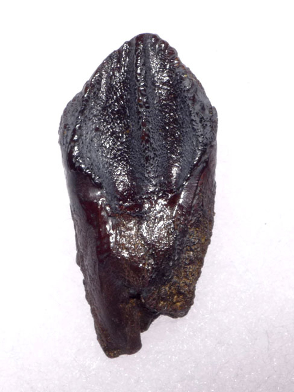 TOP GRADE TRICERATOPS DINOSAUR TOOTH WITH PARTIAL ROOT AND INTACT UNWORN CROWN *DT19-044