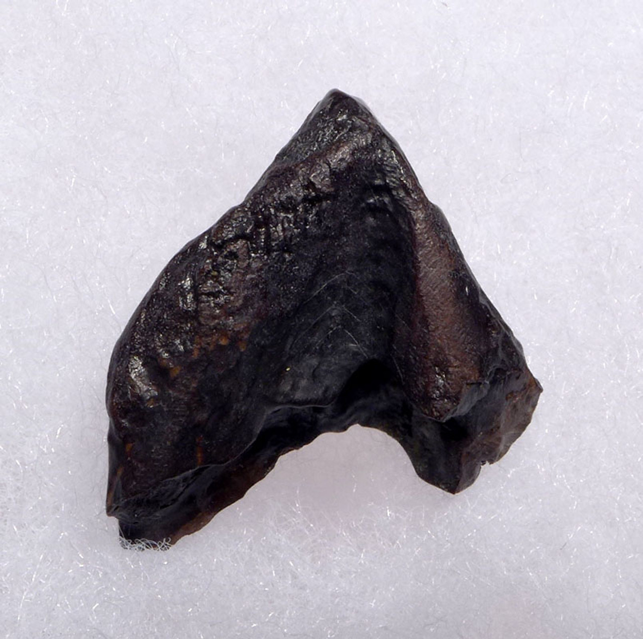 MAXIMUM SIZE CHOICE TRICERATOPS DINOSAUR TOOTH *DT19-044X