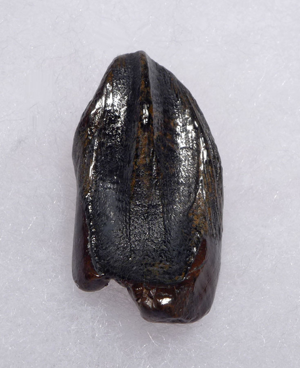 FINEST LARGE TRICERATOPS DINOSAUR TOOTH WITH UNWORN CROWN AND ROOT *DT19-042X