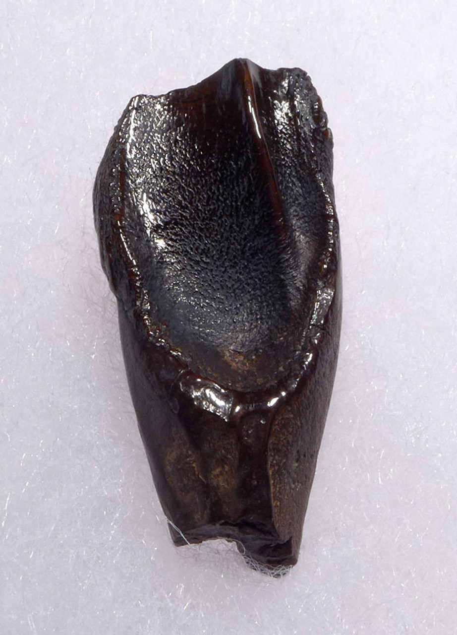 ENORMOUS PREMIUM FOSSIL TRICERATOPS TOOTH WITH ROOT FROM A MAXIMUM SIZE DINOSAUR *DT19-043X