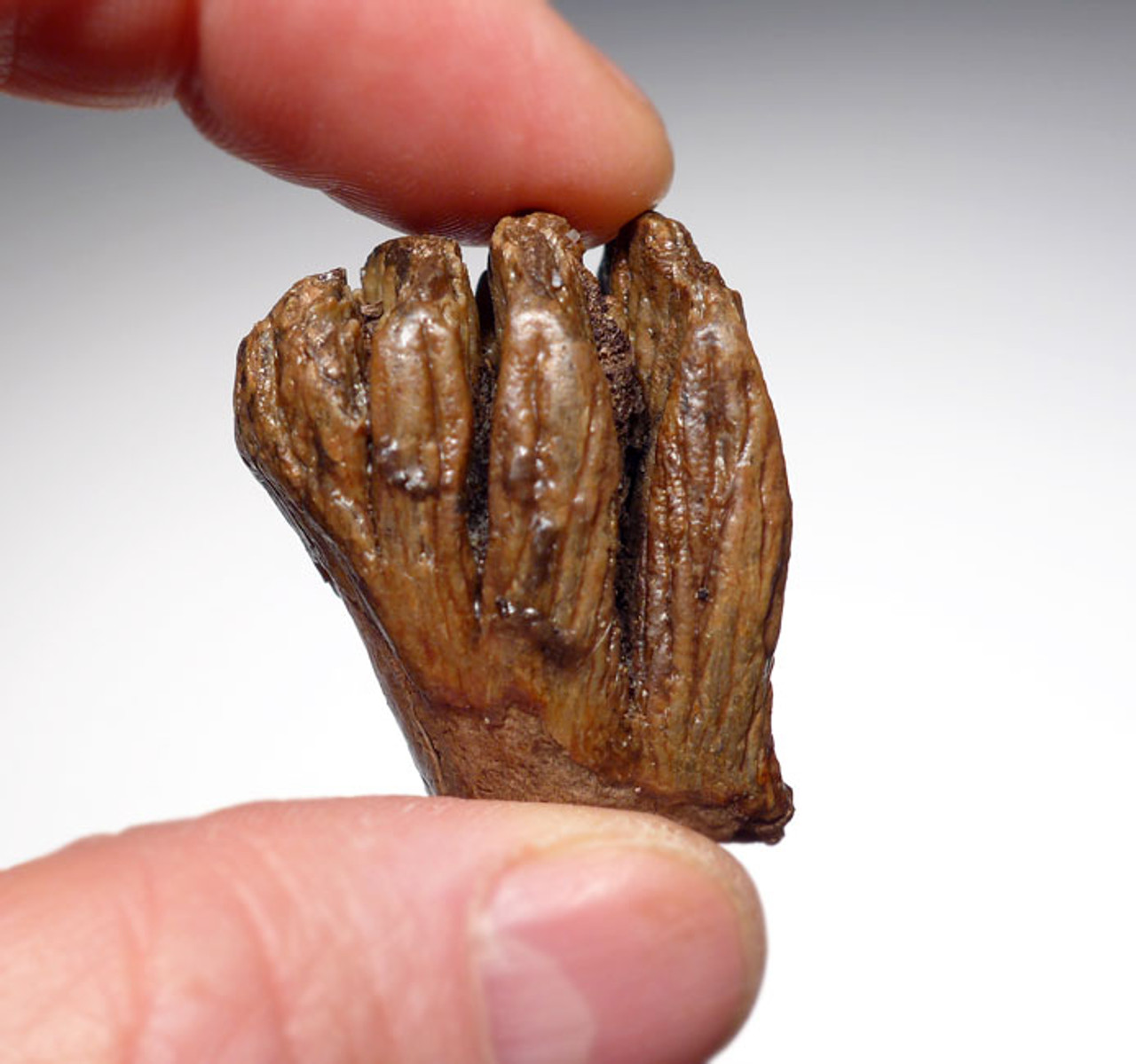 EXTREMELY RARE NEWBORN BABY CALF SOUTHERN MERIDIONALIS MAMMOTH MILK TOOTH *MTB010