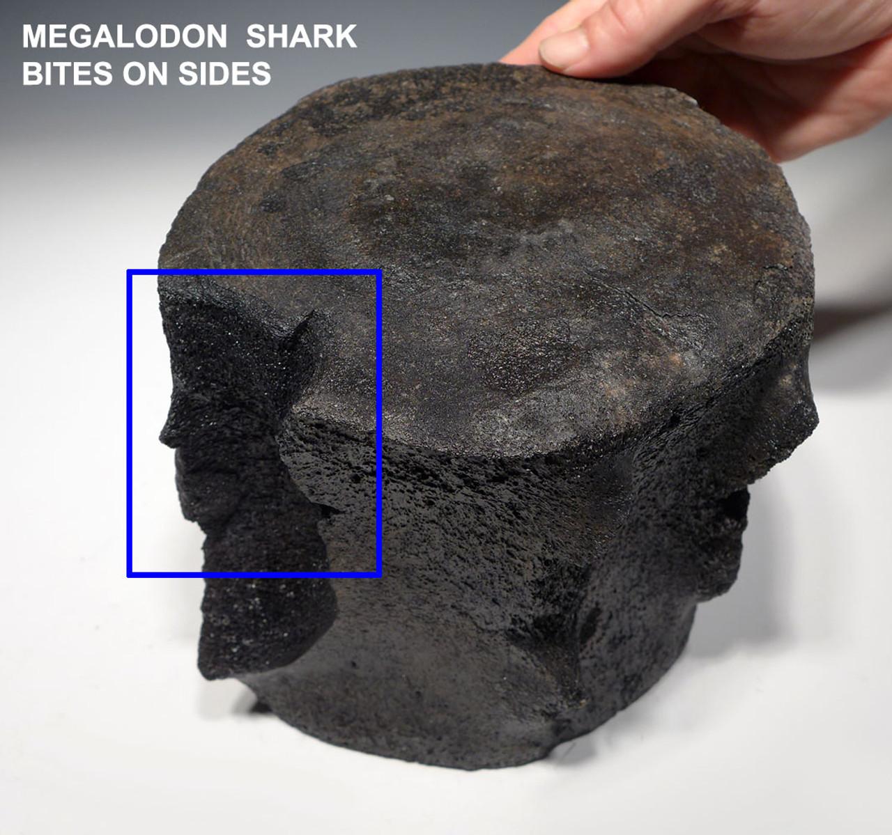 RARE LARGE FOSSIL SPERM WHALE VERTEBRA  WITH MEGALODON SHARK BITES *WH045