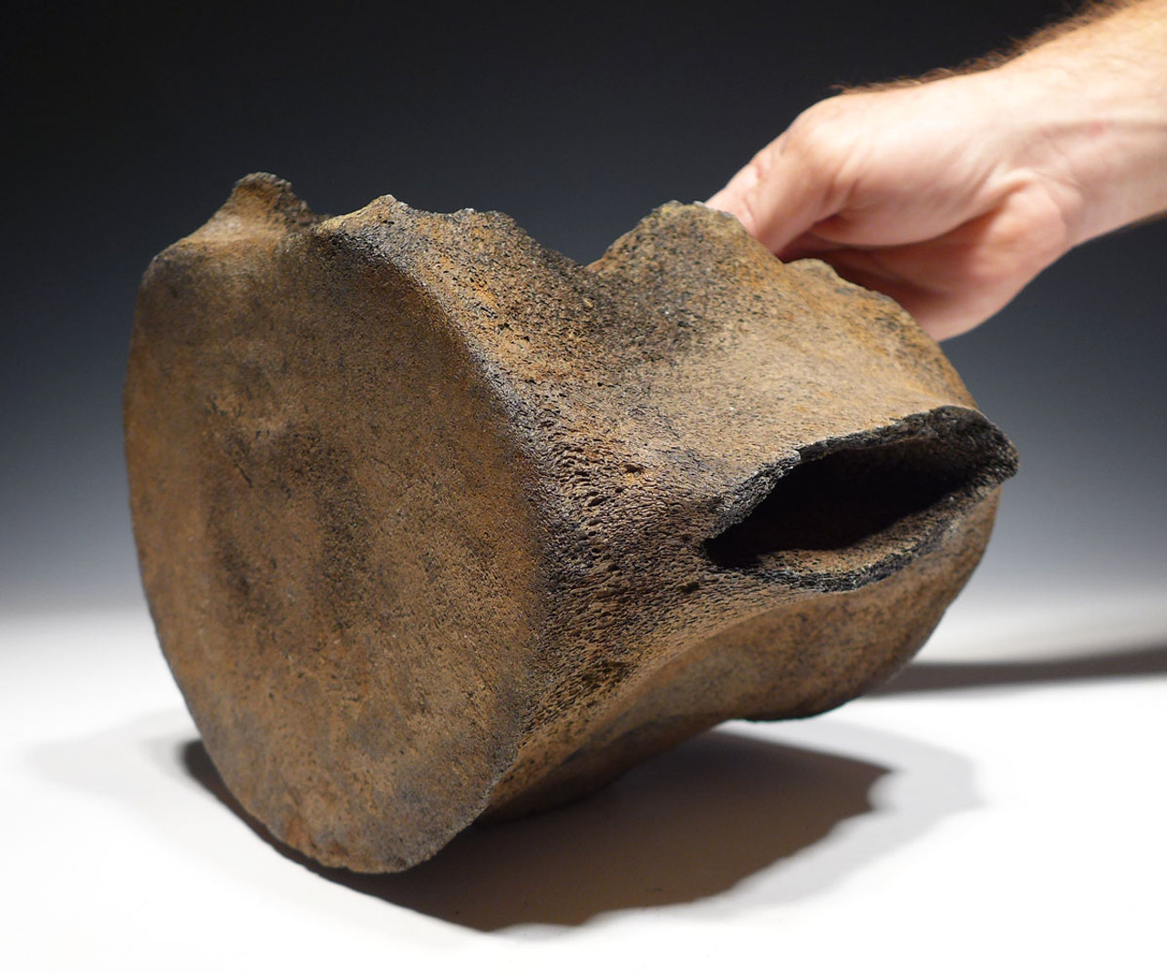 LARGE PREHISTORIC FOSSIL SPERM WHALE VERTEBRA WITH EXCELLENT PRESERVATION *WH042