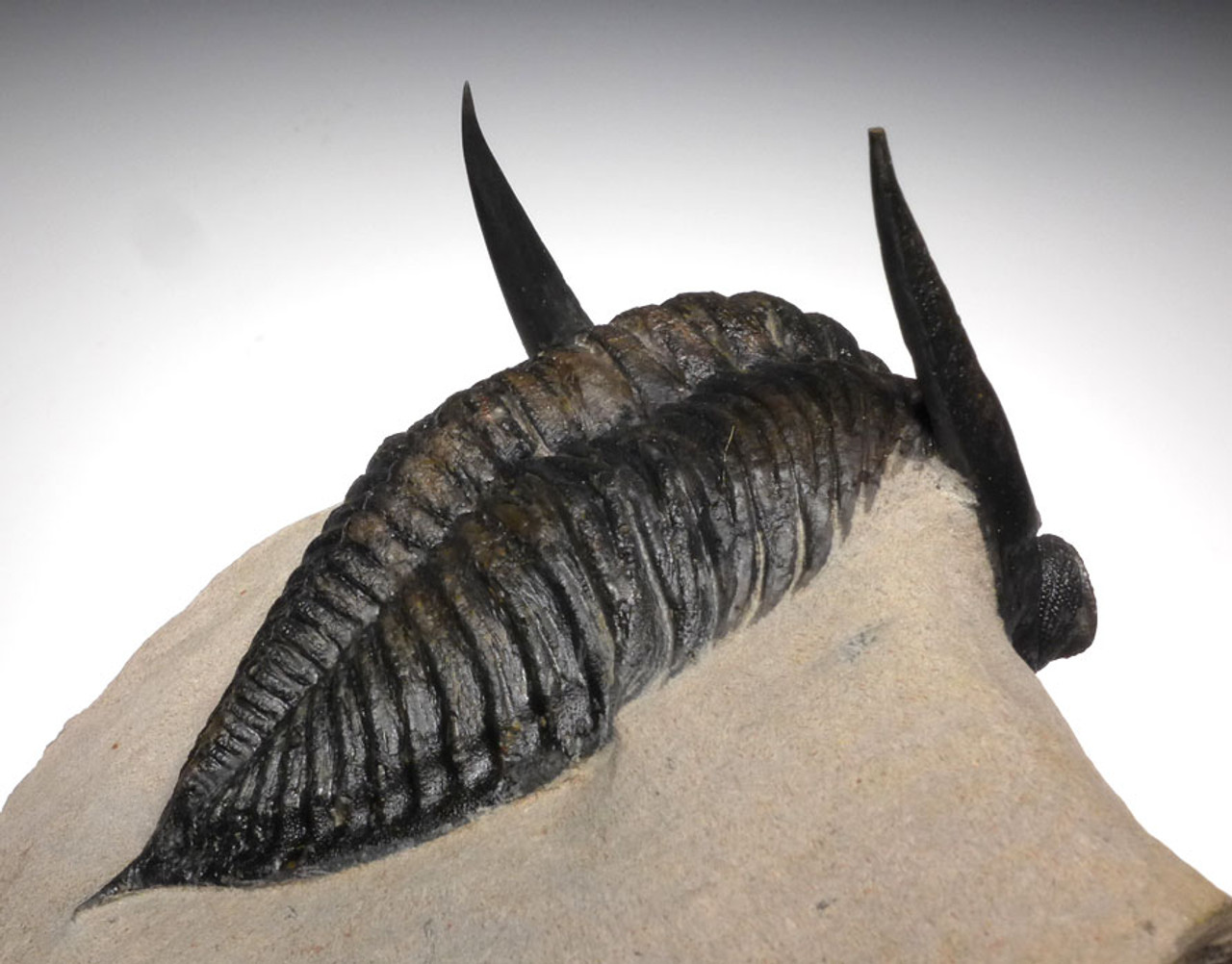 OUR LARGEST EVER 5.75 INCH ZLICHOVASPIS ONDONTOCHILE TRILOBITE WITH FULLY EXPOSED BODY AND SPINES *TRX377
