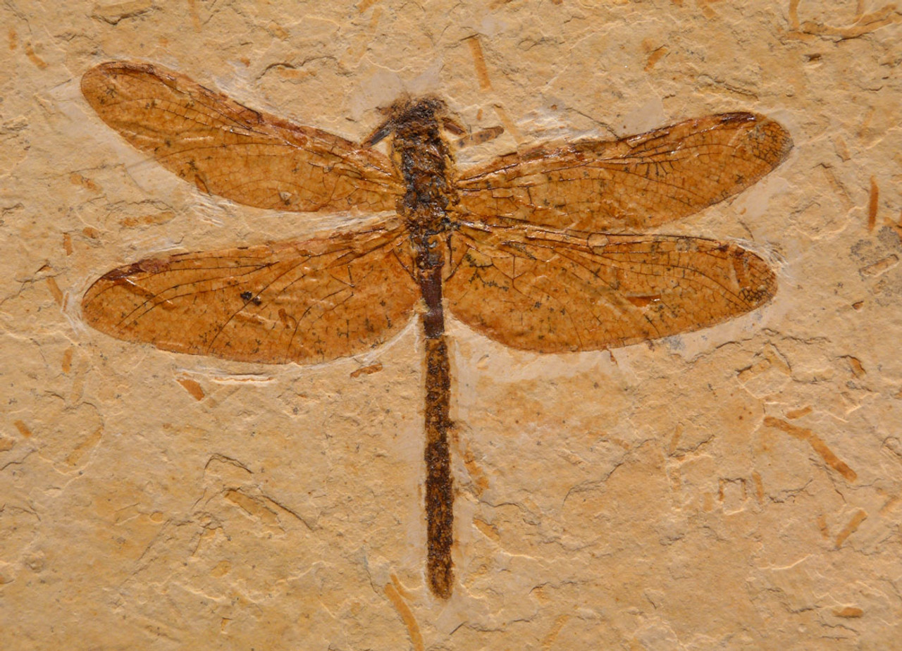 LARGE CORDULAGOMPHUS DRAGONFLY FOSSIL OF EXCEPTIONAL DETAIL FROM THE DAYS OF THE DINOSAURS *BU020