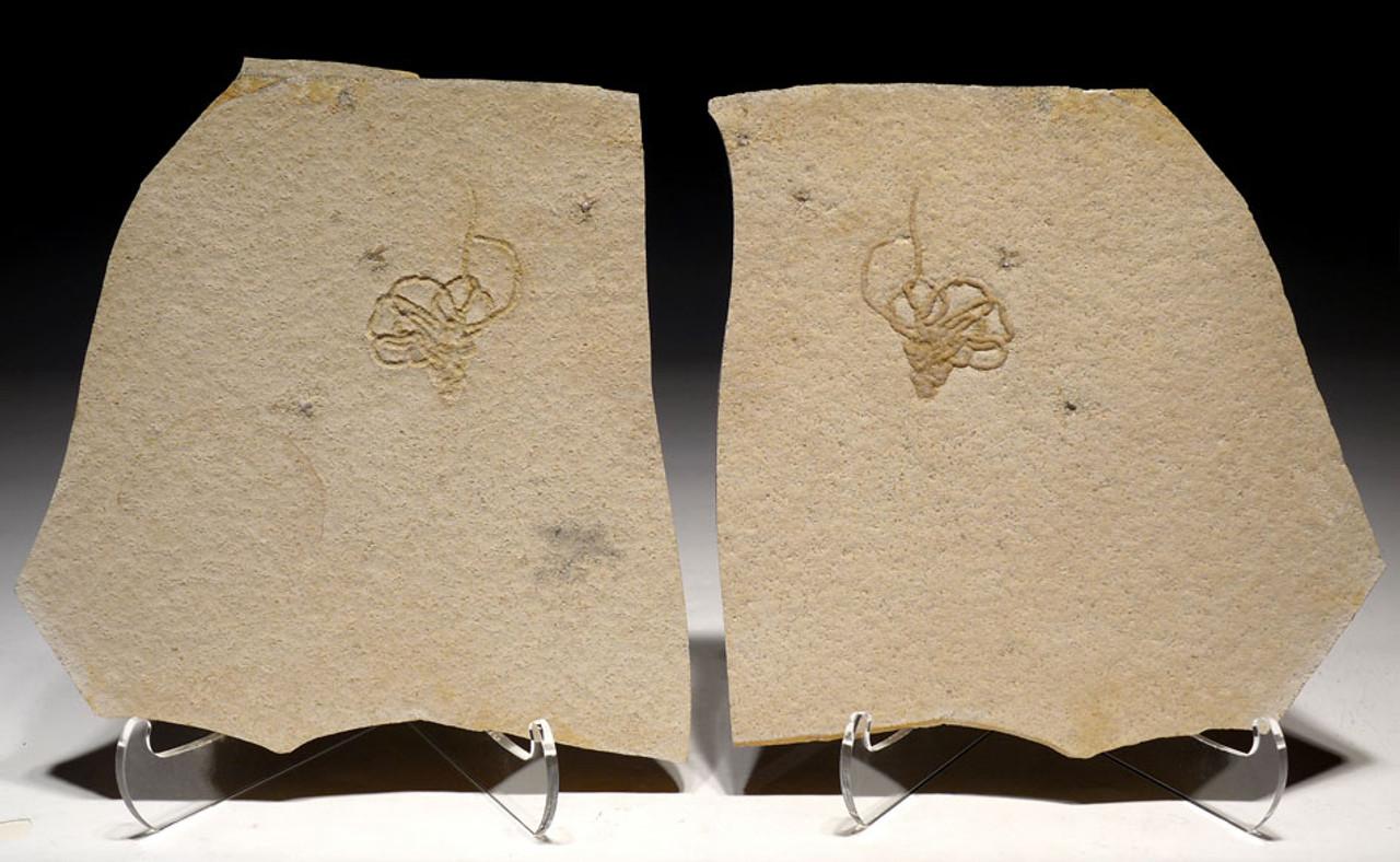 MUSEUM-CLASS LARGE JURASSIC SQUID COPROLITE TRACE FOSSIL LUMBRICARIA POSITIVE AND NEGATIVE PLATES FROM SOLNHOFEN *CRI038