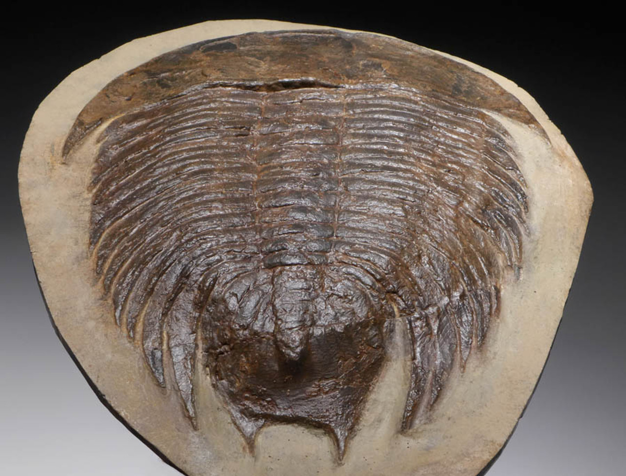 TRX124 - CHOICE GRADE RARE DIKELOKEPHALINA TRILOBITE WITH RARE NATURAL ANATOMY INTACT
