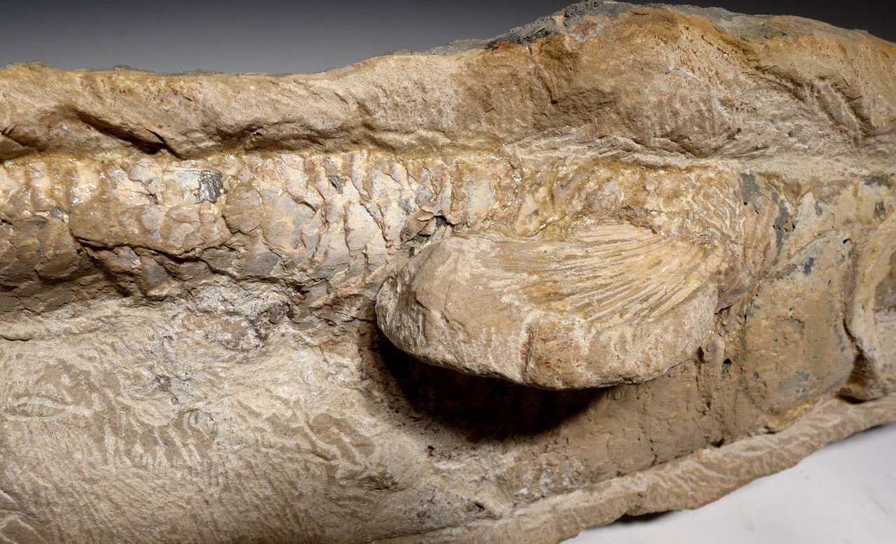 CLADOCYCLUS TARPON-LIKE FISH FOSSIL FROM THE CRETACEOUS DINOSAUR ERA *F134