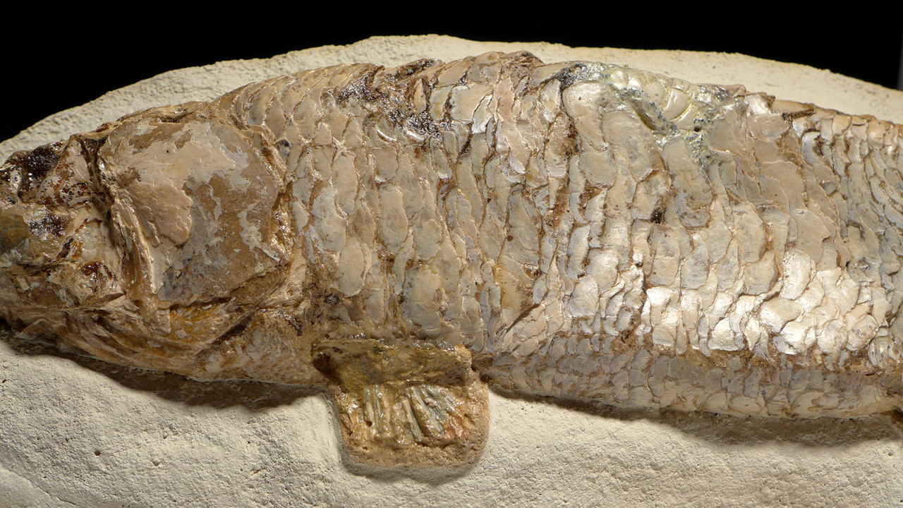 RECORD-SIZE GIANT THARRHIAS GONORYNCHIFORM FISH FOSSIL FROM THE DINOSAUR DAYS *F133