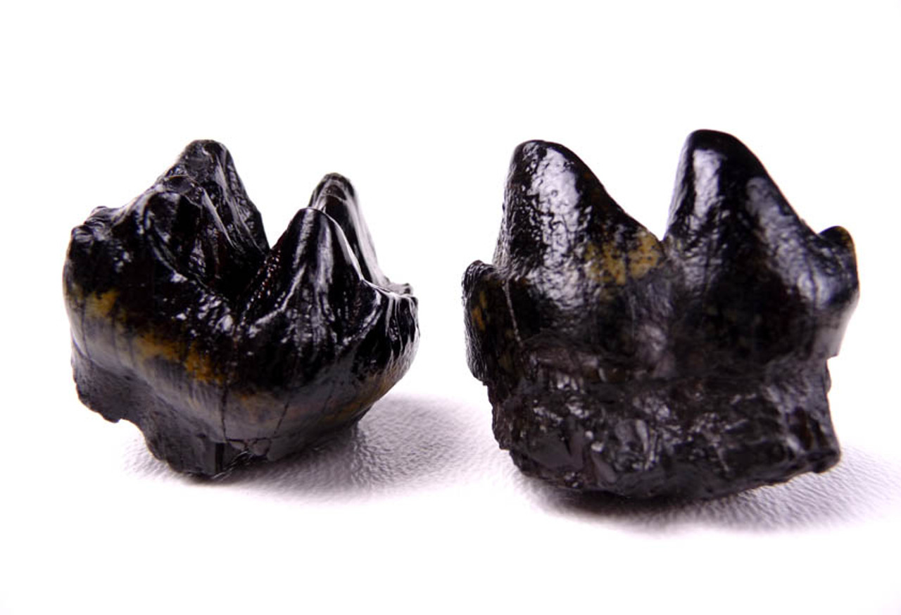 TWO BABY MASTODON FOSSIL UPPER AND LOWER MOLAR TEETH FROM SAME MASTODON *LM15-020
