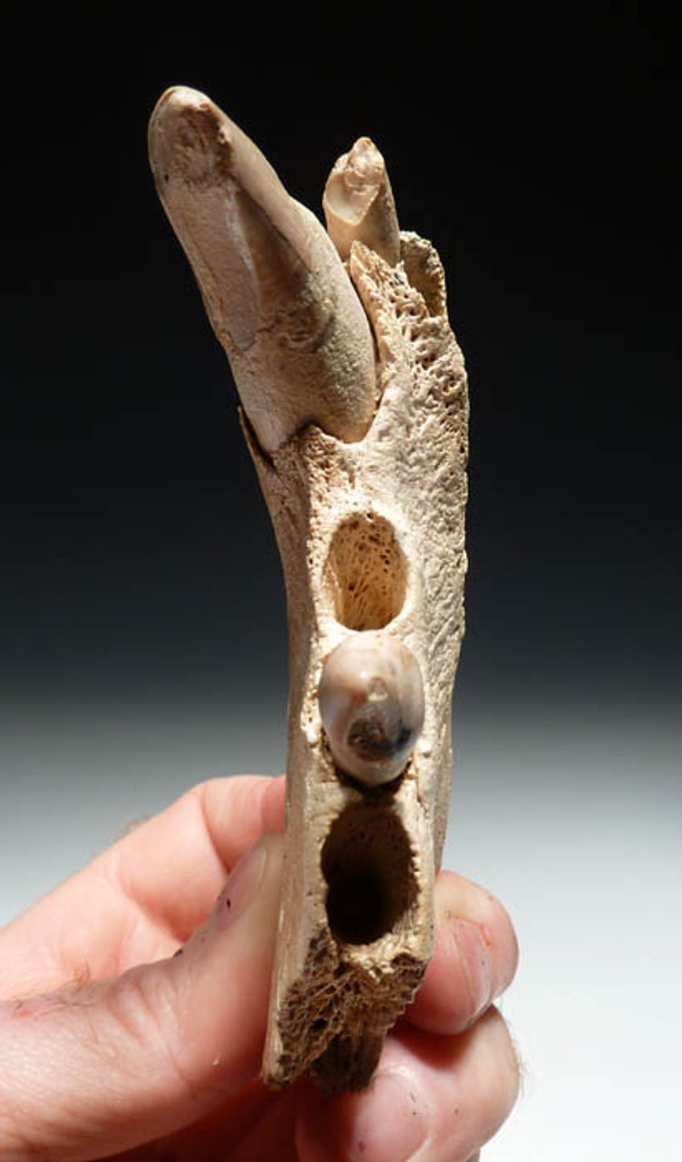 FOSSIL SEA LION JAW WITH TEETH FROM SHARK TOOTH HILL CALIFORNIA  *MVX003