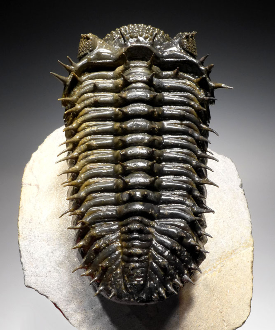TRX323 - BI-COLORED FINEST GRADE GOLD AND BLACK SPINY DROTOPS ARMATUS TRILOBITE FOSSIL WITH FREE-STANDING SPINES