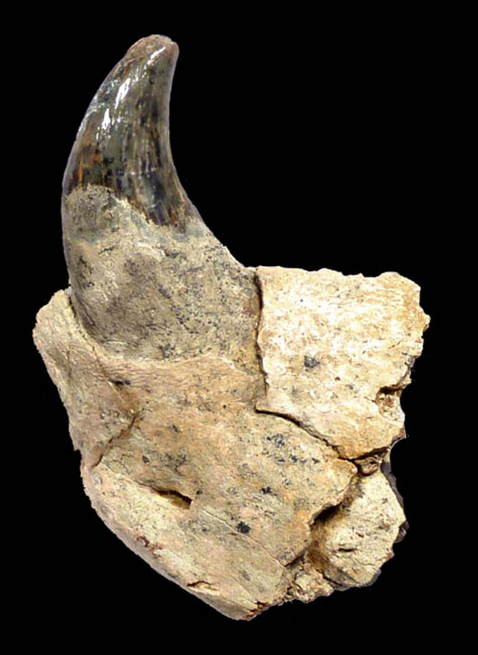 15 MILLION YEAR SEA LION ALLODESMUS JAW FOSSIL WITH LARGE FANG TOOTH FROM CALIFORNIA *MVX002